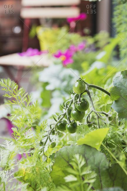 Unripe tomatoes growing on balcony garden