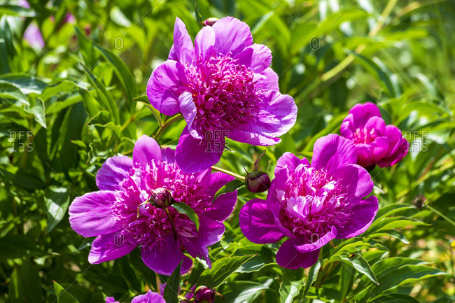 Pink peonies in garden close-up