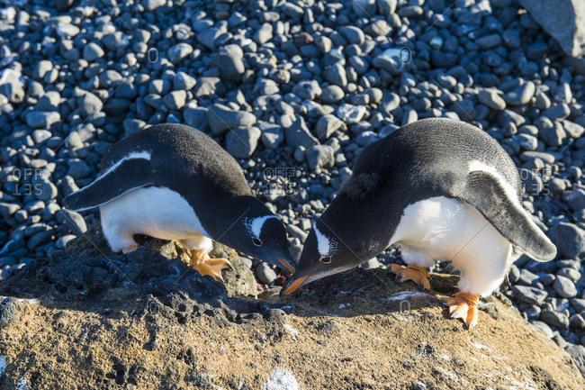 Two gentoo penguins (Pygoscelis papua) touching with beaks