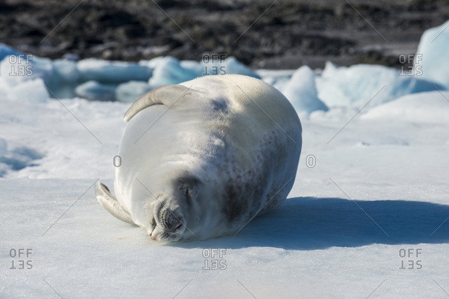 Portrait of crabeater seal (Lobodon carcinophaga) sleeping on ice