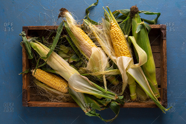 Overhead view of harvested corn on the cob in crate
