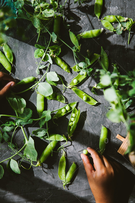 Overhead view of snow pea pods on dark background in natural sunlight and hand