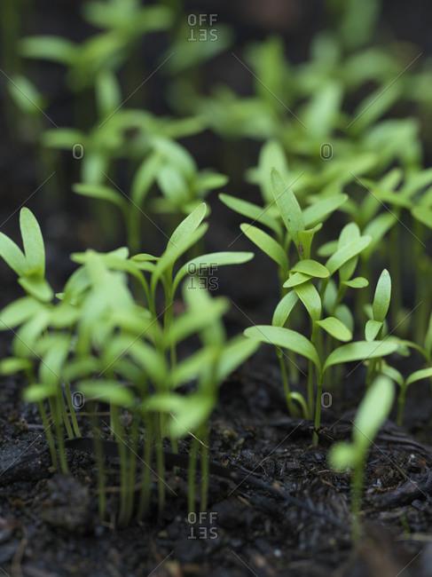 Coriander seedlings growing in a garden