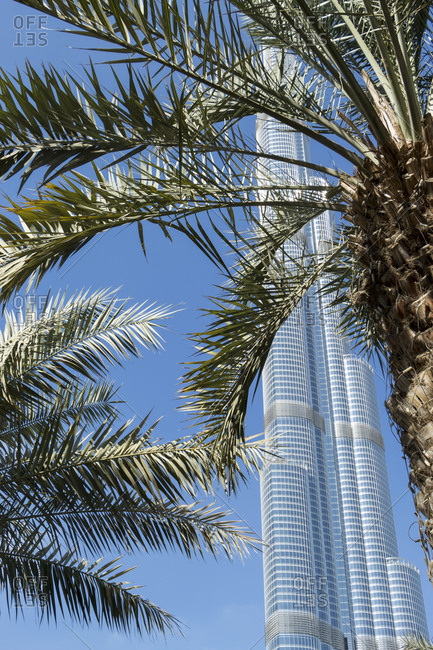 November 3, 2014: View across palm tree fronds of the Burj Khalifa, Dubai, United Arab Emirates, the tallest skyscraper in the world housing offices, a hotel and apartments, against a clear blue sky