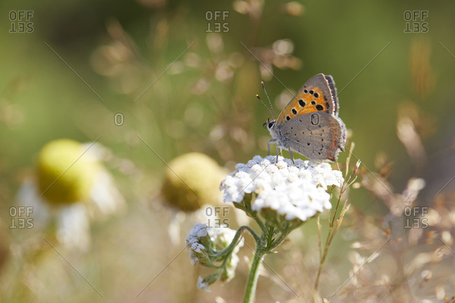 Little fire butterfly on flower