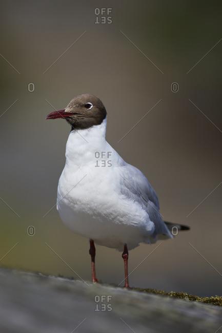 Black-headed Gull, Chroicocephalus ridibundus, summer dress