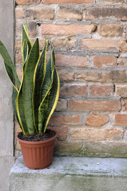 Sansevieria in a pot outside