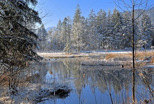 Winter landscape with hoarfrost in the moor area 'Seven Sources' Eschenlohe, Loisachtal, Das Blaue Land, Upper Bavaria, Bavaria, Germany