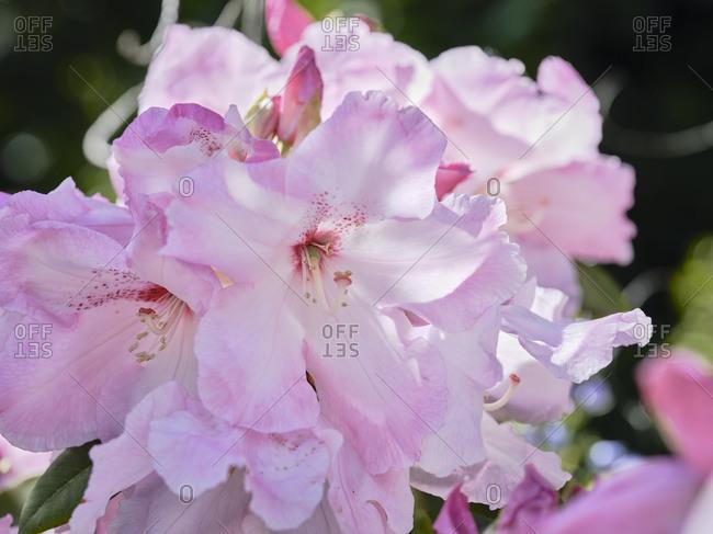 Pink rhododendron in a garden in Brest in Brittany.