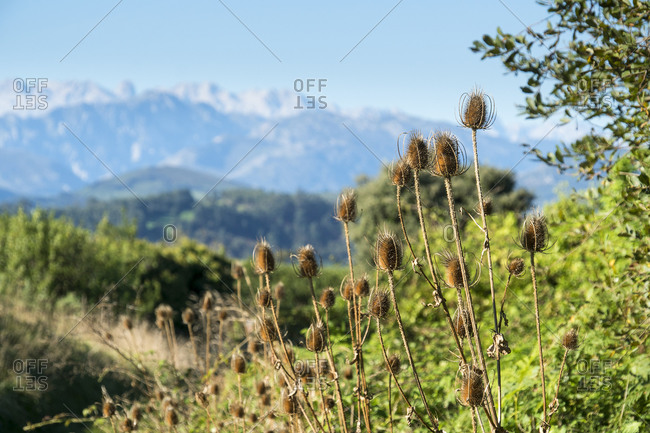 Spain, north coast, Cantabria, landscape with mountain ranges of the Picos de Europa, wild teasel, Dipsacus fullonum