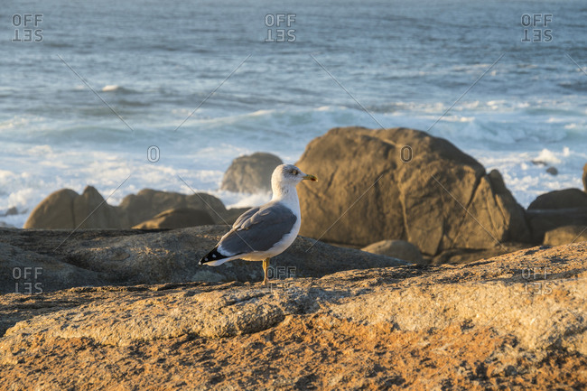 Spain, north coast, Galicia, Costa da Morte, Muxia, seagull in the evening light