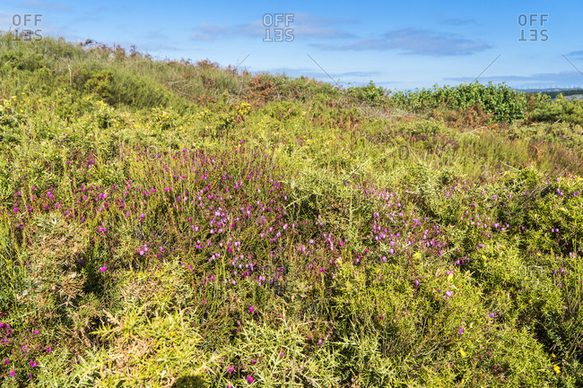 Spain, north coast, Galicia, Costa da Morte, Praia dos Cristais, heather, hiking trail