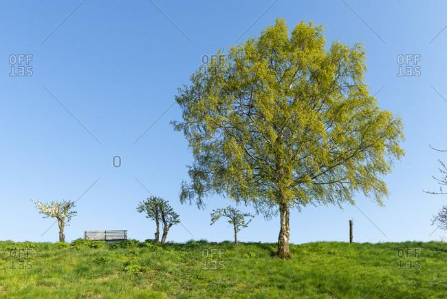 Birch tree (Betula) in spring.