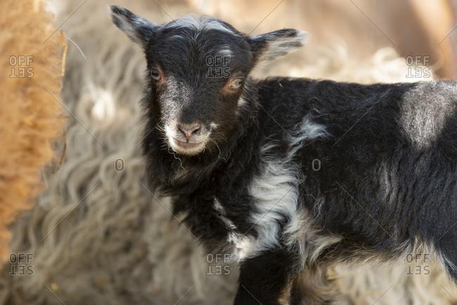 Sheep (ovis) on a farm