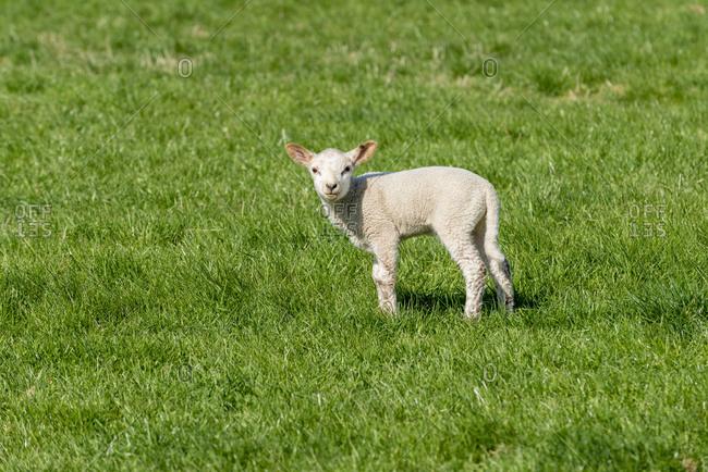 Germany, Lower Saxony, East Frisia, Emden, sheep graze on the sea dyke.