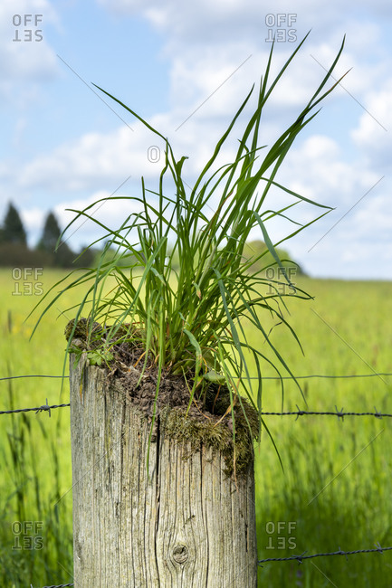 Grass grows from a wooden old fence post.