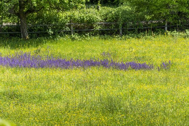 Germany, Baden-Wuerttemberg, Pfinztal, flowering meadow in spring.