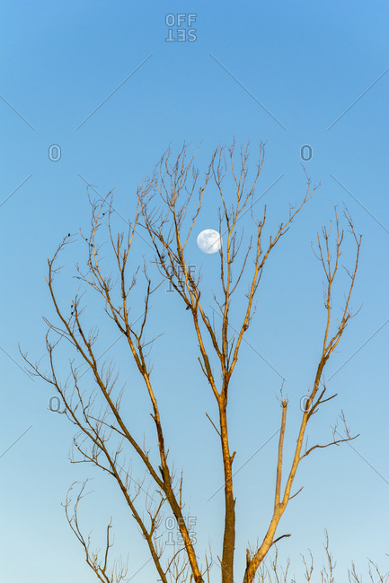 Bare tree with moon at dusk