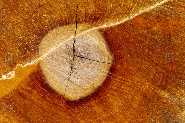 Tree slice, cut surface of a felled tree.