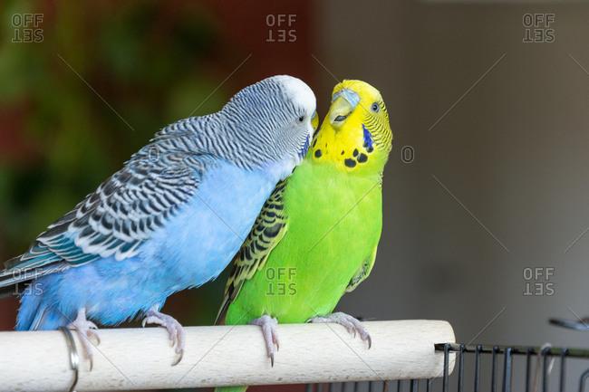 Two Budgerigar (Melopsittacus undulatus) birds