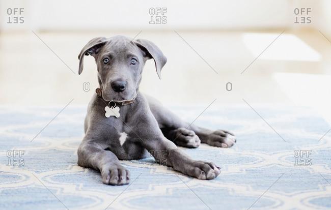 Portrait cute gray Great Dane puppy on rug