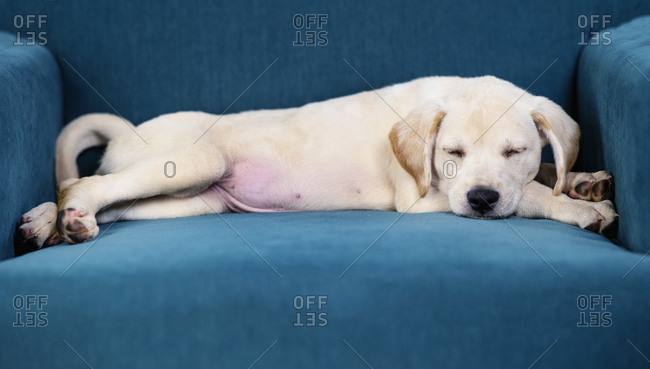 Cute puppy sleeping in teal blue armchair