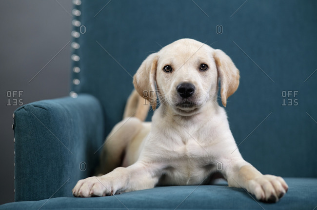 Portrait cute yellow puppy laying in teal blue armchair