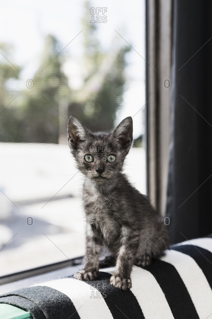 Portrait cute, wide-eyed gray kitten in window