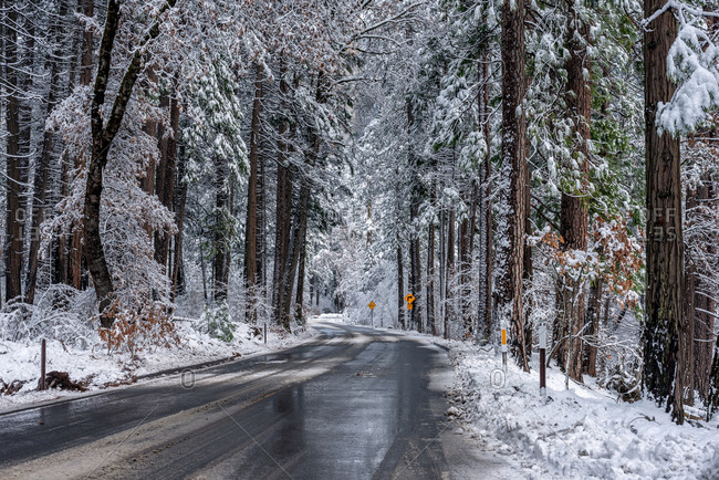 Road and trees after a snow storm, Yosemite National Park