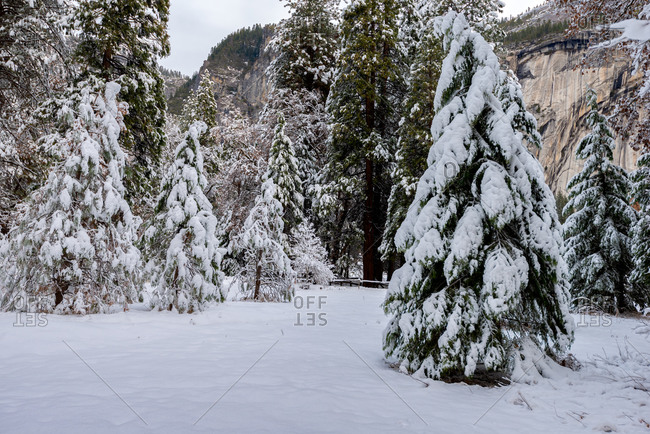 Trees covered with snow after a storm in Yosemite National Park