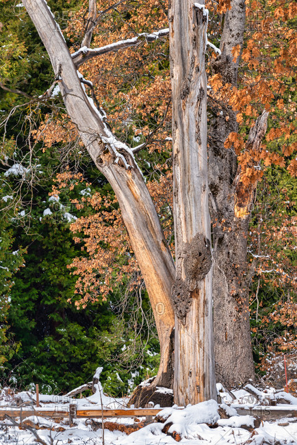 Trees with leaves in Winter colors and snow in Yosemite Valley