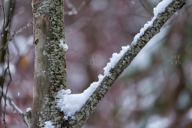 Black Oak tree trunk and branch with snow, Yosemite National Park