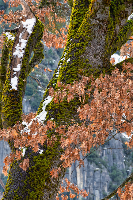 Black Oak tree trunk and leaves during winter in Yosemite Valley