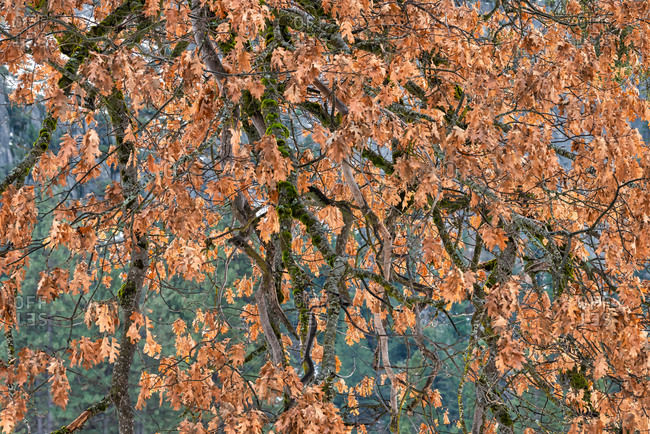 Black oak tree leaves and brunches during winter in Yosemite Valley