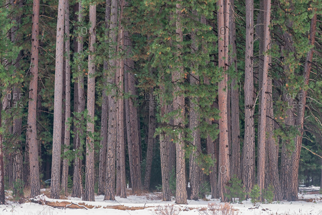 Pine trees grove with snow in winter, Yosemite Valley