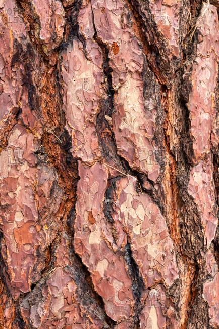 Pine Tree bark close-up, Yosemite National Park