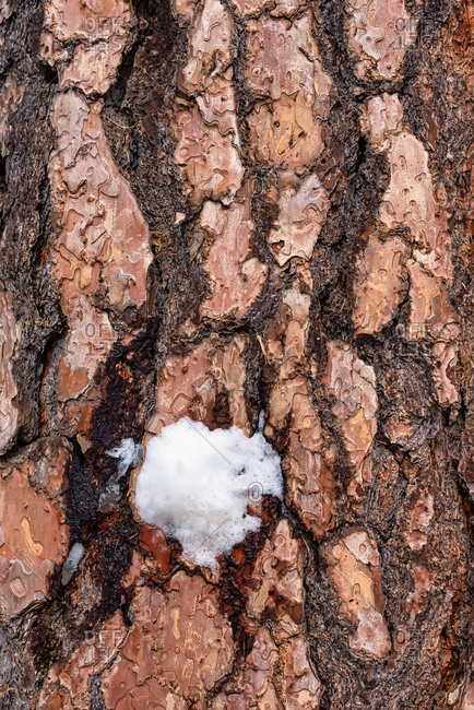 Pine tree bark close-up with snow in Yosemite National Park