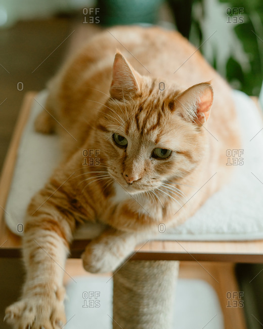Orange cat resting on top of a scratching post