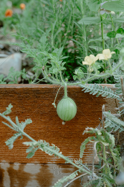 Small start of a watermelon growing on the edge of a raised garden