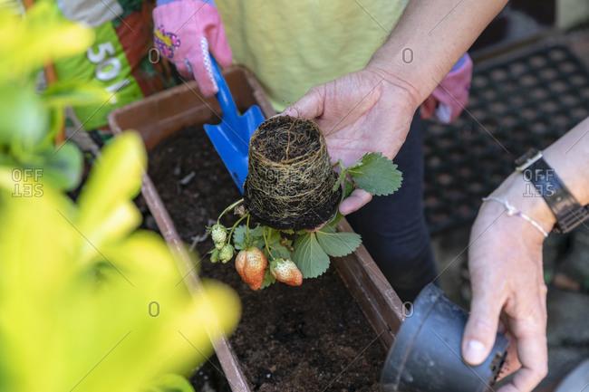 Family gardening during Coronavirus lockdown, two people potting up plants