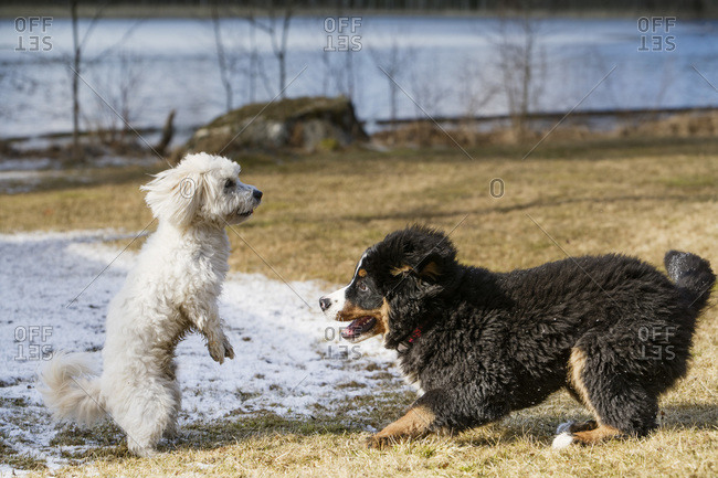 Bernese Mountain Dog puppy and Maltese Poodle playing together in a park.