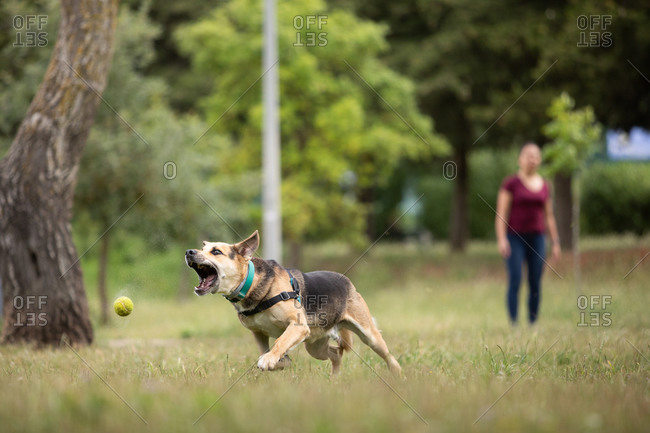 Dog running after tennis ball in a park, woman in the background.