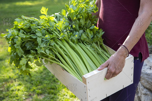 Close up of woman carrying wooden crate with freshly picked celery.