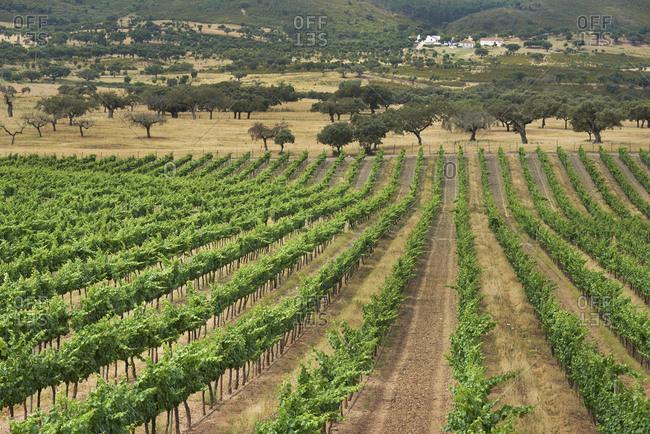 Green rows in a vineyard in Alentejo, Portugal