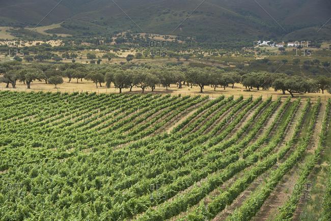 Vineyard in Alentejo, Portugal