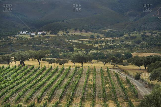 Bird's eye view of vines in a vineyard in Alentejo, Portugal