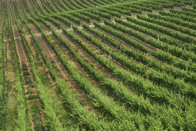 Bird's eye view of green vines in a vineyard in Alentejo, Portugal