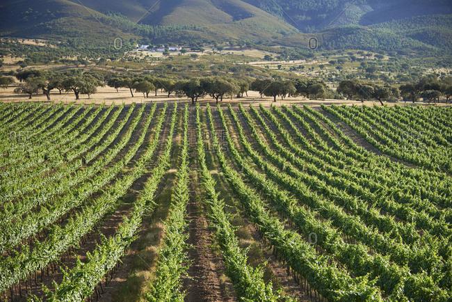 Rows of grapevines in a vineyard in Alentejo, Portugal