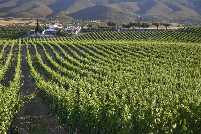 Rows of vines in a vineyard in Alentejo, Portugal