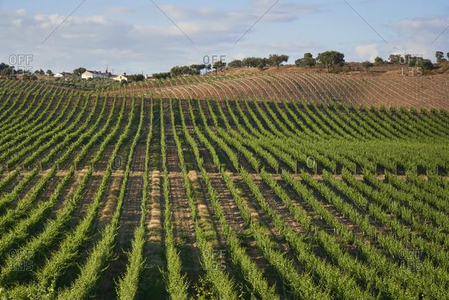 View of vines growing in a vineyard in Alentejo, Portugal